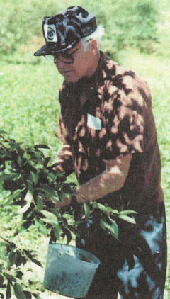 Tony Schlise picking cherries
